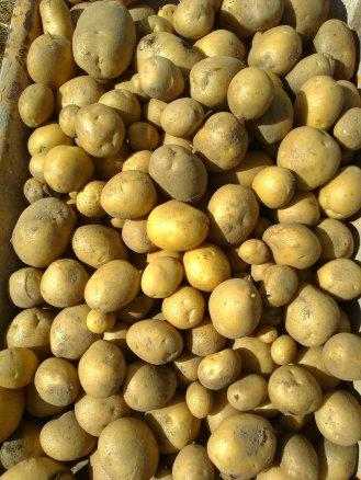 En julio comenzó la cosecha de patatas de la cabra, este año excepcionales, en calidad, tamaño y sabor. En la imágen patatas blancas.